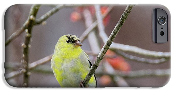 IPhone 6 Case featuring the photograph Molting Gold Finch Square by Bill Wakeley
