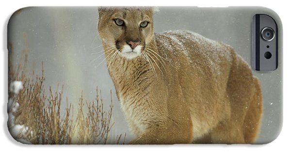 Felidae iPhone Cases - Mountain Lion Puma Concolor Adult iPhone Case by Tim Fitzharris