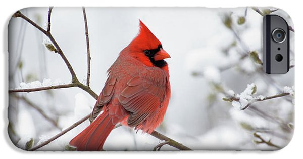 Winter Weather iPhone Cases - Northern Cardinal - D001540 iPhone Case by Daniel Dempster