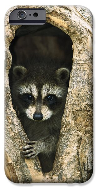 Cute Tree Images iPhone Cases - Raccoon Procyon Lotor Baby Peering iPhone Case by Konrad Wothe
