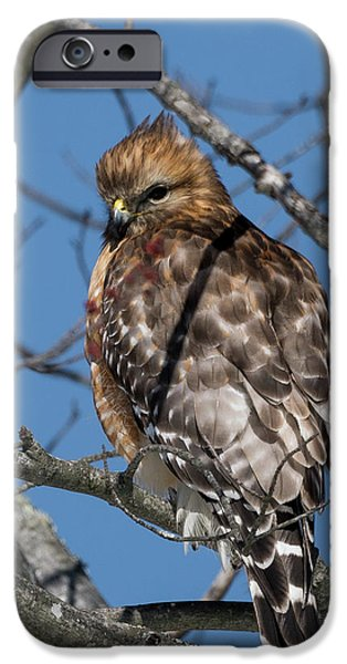 IPhone 6 Case featuring the photograph Red Shouldered Hawk 2017 by Bill Wakeley