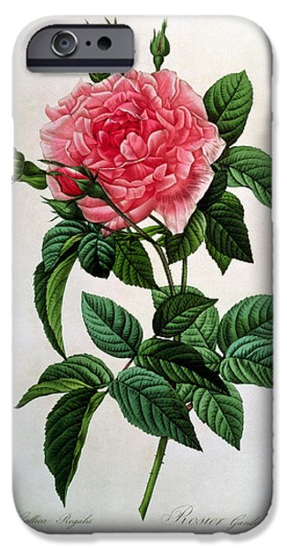 19th Century Drawings iPhone Cases - Rosa Gallica Regallis iPhone Case by Pierre Joseph Redoute