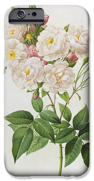 Botanical Paintings iPhone Cases - Rosa Noisettiana iPhone Case by Pierre Joseph Redoute