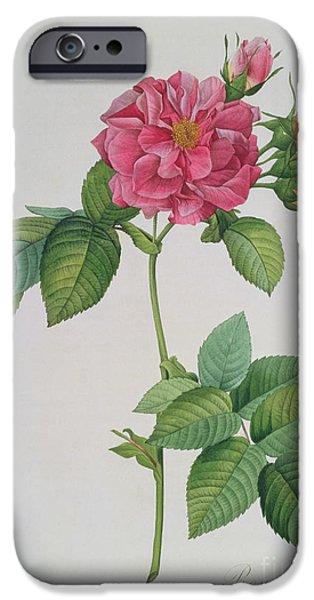 Rose Petals iPhone Cases - Rosa Turbinata iPhone Case by Pierre Joseph Redoute