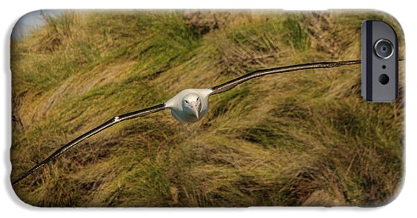 Royal Albatross 2 IPhone 6 Case by Werner Padarin