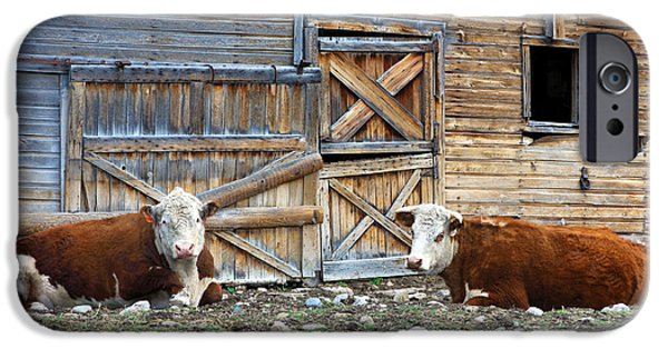 Rustic Barns iPhone Cases - Squires Herefords by the Rustic Barn iPhone Case by Karon Melillo DeVega