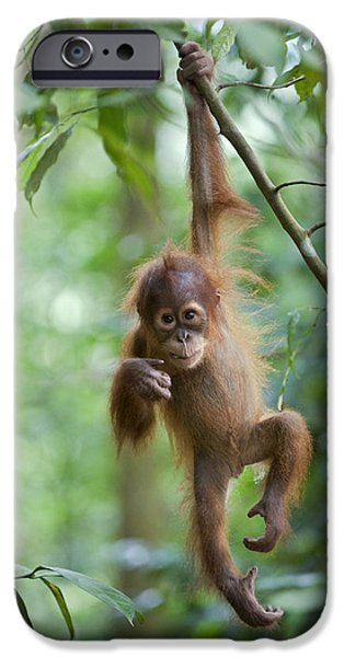 Ape iPhone Cases - Sumatran Orangutan Pongo Abelii One iPhone Case by Suzi Eszterhas