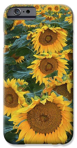 Sunflower Seeds iPhone 6 Case - Sunflowers by Steve Gadomski