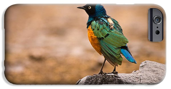 Aviary iPhone Cases - Superb Starling iPhone Case by Adam Romanowicz