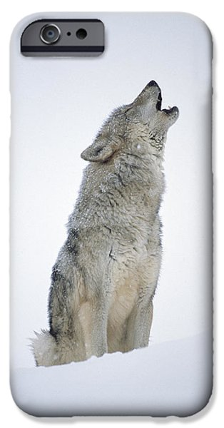 Vertebrata iPhone Cases - Timber Wolf Portrait Howling In Snow iPhone Case by Tim Fitzharris