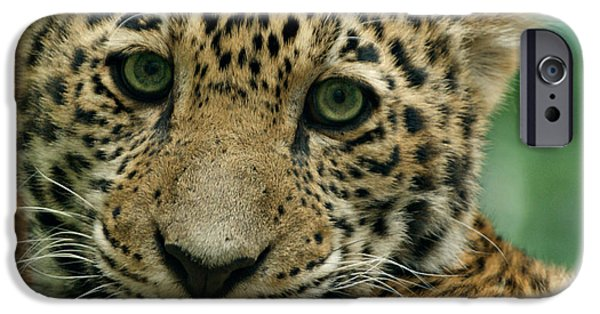 Evansville iPhone Cases - Young Jaguar iPhone Case by Sandy Keeton