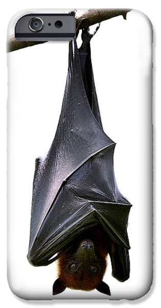 Bat iPhone 6 Case - Bat, Hanging Lyles Flying Fox Isolated by Boonchuay Promjiam