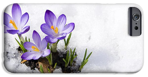 Early iPhone 6 Case - Crocuses In Snow by Volkova Irina