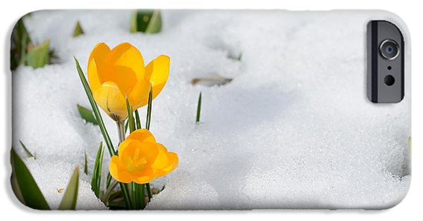 Early iPhone 6 Case - Snowdrops Crocus Flowers In The Snow by Er 09