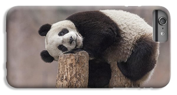 Giant Panda Cub Wolong National Nature IPhone 6 Plus Case by Katherine Feng