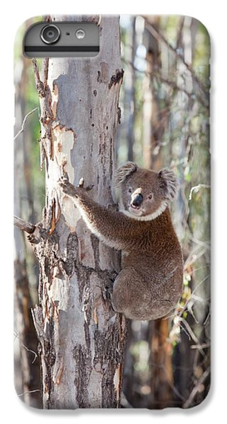 Koala Bear IPhone 6 Plus Case by Ashley Cooper