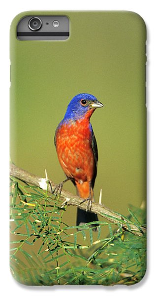 Bunting iPhone 6 Plus Case - Painted Bunting (passerina Ciris by Richard and Susan Day