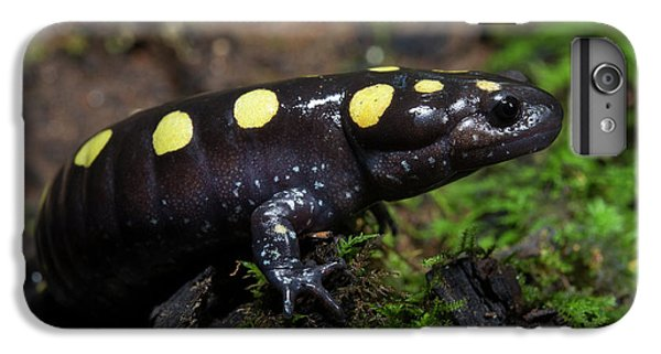 Salamanders iPhone 6 Plus Case - Spotted Salamander (ambystoma Maculatum by Pete Oxford