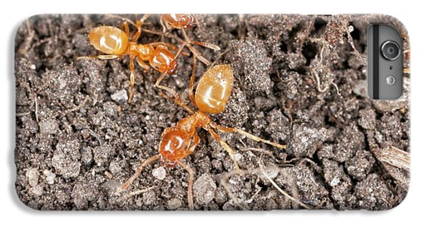 Yellow Meadow Ants IPhone 6 Plus Case by Bob Gibbons