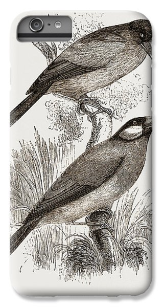 Crossbill iPhone 6 Plus Case - Crossbills by Litz Collection
