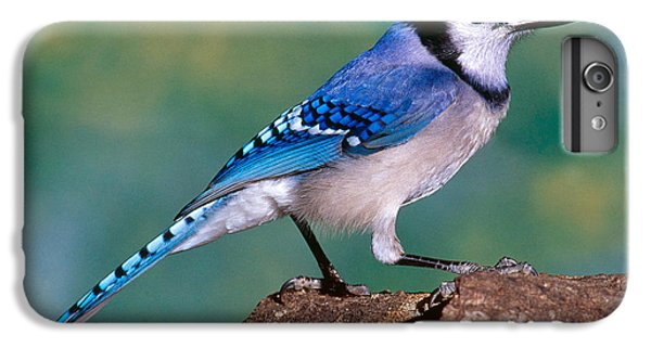 Blue Jay IPhone 6 Plus Case by Millard H. Sharp