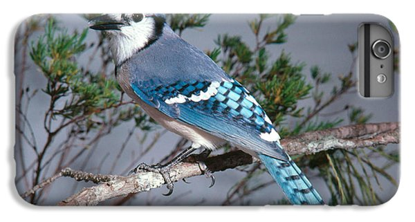 Bluejay Calling IPhone 6 Plus Case by John S. Dunning