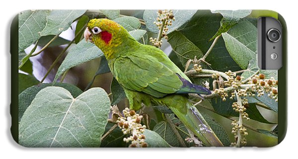 Chiriqui Conure 2 IPhone 6 Plus Case