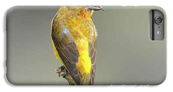 Crossbill iPhone 6 Plus Case - Common Crossbill Loxia Curvirostra by Rhz