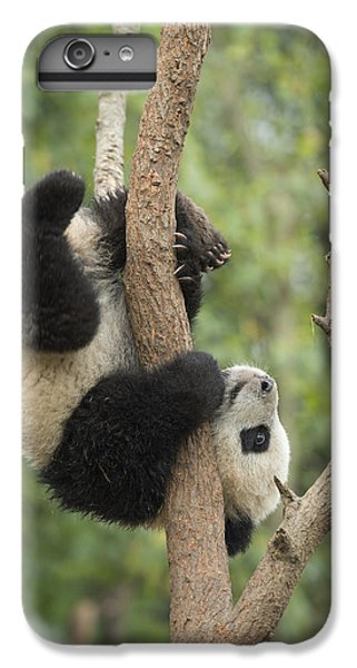 Giant Panda Cub In Tree Chengdu Sichuan IPhone 6 Plus Case by Katherine Feng