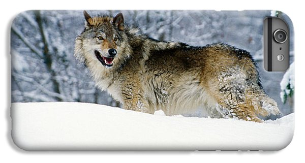 Wolves iPhone 6 Plus Case - Gray Wolf In Snow, Montana, Usa by Panoramic Images