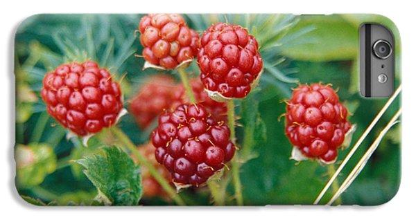 Highbush Blackberry Rubus Allegheniensis Grows Wild In Old Fields And At Roadsides IPhone 6 Plus Case
