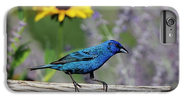 Indigo Bunting (passerina Cyanea IPhone 6 Plus Case by Richard and Susan Day
