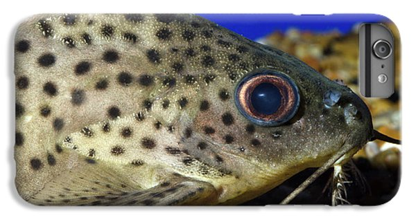 Catfish iPhone 6 Plus Case - Leopard Sailfin Pleco by Nigel Downer