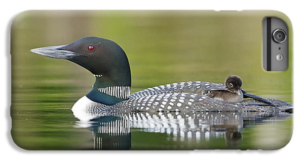Loon iPhone 6 Plus Case - Loon Chick With Parent - Quiet Time by John Vose