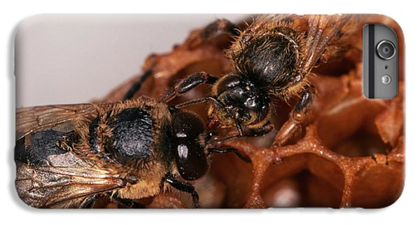 Honeybee iPhone 6 Plus Case - Queen And Drone Honeybees by Sinclair Stammers/science Photo Library