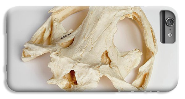Salamanders iPhone 6 Plus Case - Salamander Skull Model by Ucl, Grant Museum Of Zoology