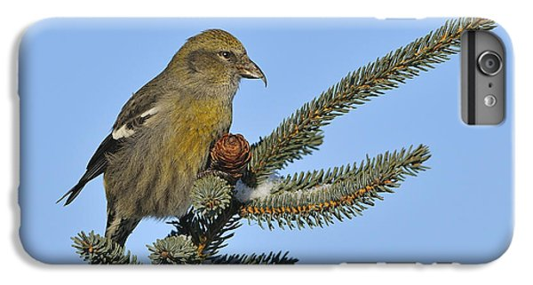 Crossbill iPhone 6 Plus Case - Spruce Cone Feeder by Tony Beck