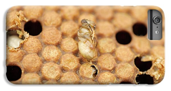Honeybee iPhone 6 Plus Case - Varroatosis by Uk Crown Copyright Courtesy Of Fera/science Photo Library