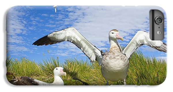 Wandering Albatross Courting  IPhone 6 Plus Case by Yva Momatiuk John Eastcott