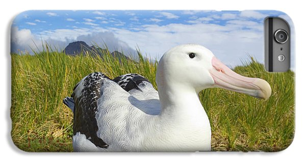 Wandering Albatross Incubating  IPhone 6 Plus Case by Yva Momatiuk John Eastcott