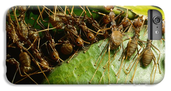 Weaver Ant Group Binding Leaves IPhone 6 Plus Case by Mark Moffett