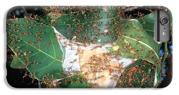Weaver Ants IPhone 6 Plus Case by Gregory G. Dimijian, M.D.
