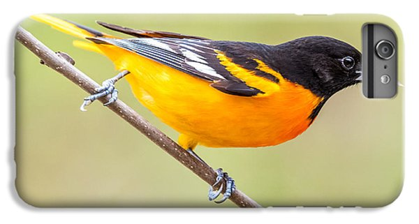 Baltimore Oriole IPhone 6 Plus Case by Paul Freidlund