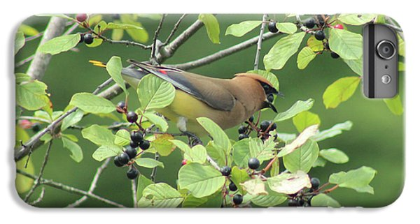 Cedar Waxwing Eating Berries IPhone 6 Plus Case by Maili Page