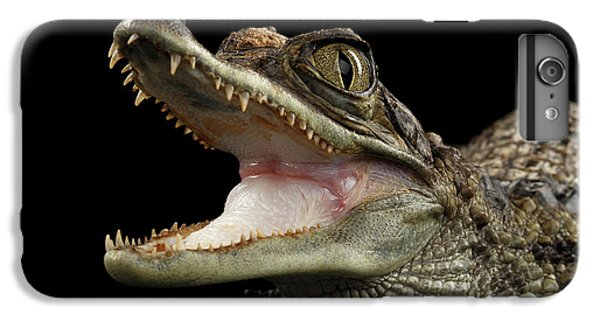 Closeup Young Cayman Crocodile, Reptile With Opened Mouth Isolated On Black Background IPhone 6 Plus Case by Sergey Taran