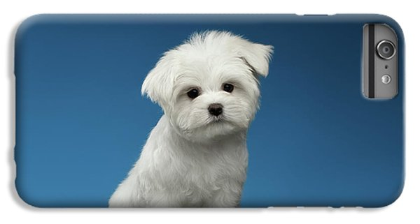 Cute Pure White Maltese Puppy Standing And Curiously Looking In Camera Isolated On Blue Background IPhone 6 Plus Case by Sergey Taran