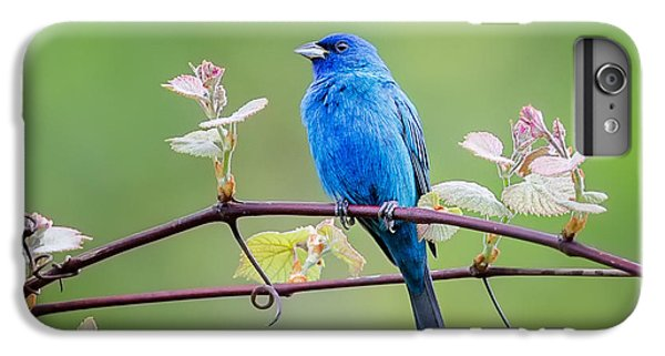Indigo Bunting Perched IPhone 6 Plus Case by Bill Wakeley