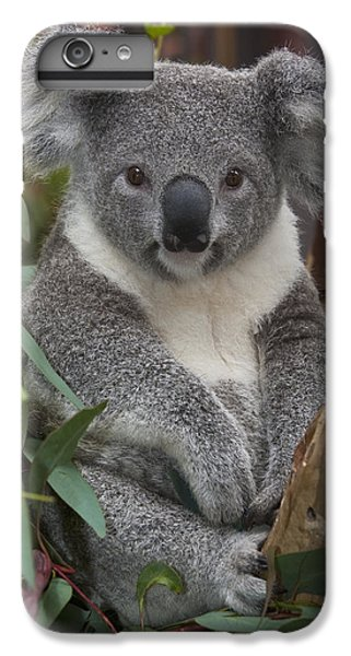 Koala Phascolarctos Cinereus IPhone 6 Plus Case by Zssd