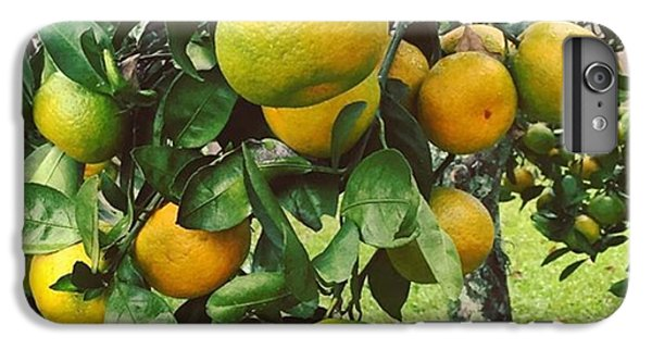 Orange iPhone 6 Plus Case - Satsumas..we Wait All Year For These by Scott Pellegrin