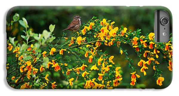 Song Sparrow Bird On Blooming Scotch IPhone 6 Plus Case by Panoramic Images